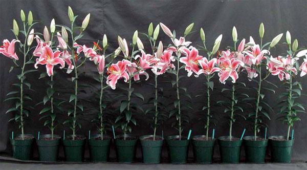 Kỹ thuật trồng hoa ly trong vườn nhà