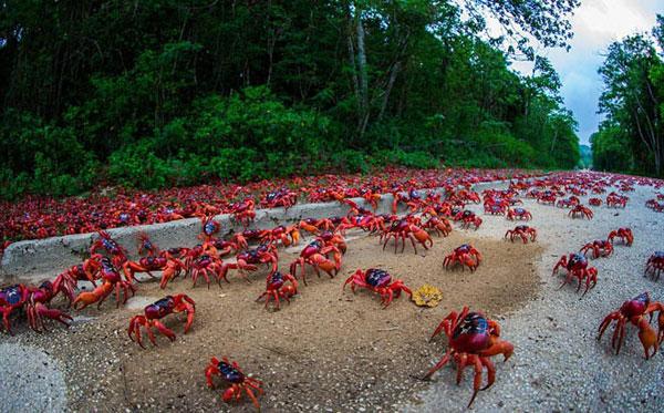 Cua nhuộm đỏ hòn đảo ở Australia