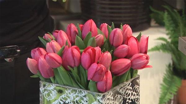 Bên cạnh kỹ thuật trồng hoa, điều kiện tự nhiên cũng là những yếu tố quan trọng để có chậu hoa tulip đẹp.