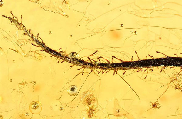 Hóa thạch thực vật ăn thịt 40 triệu năm tuổi