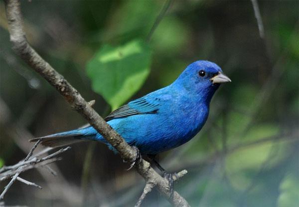 Vì sao lông chim quý có màu xanh chủ đạo?