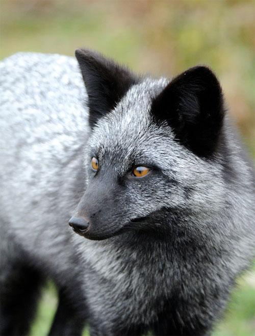 Cũng vì bộ lông này mà đã có lúc chúng trở thành loài cáo có giá trị nhất.