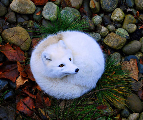 Chúng có chân và mõm tương đối ngắn cùng bộ lông dày để giữ ấm trong cái lạnh đến -70 độ C.