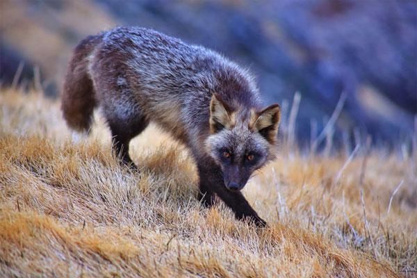 Cáo bạc thực tế cùng loài với cáo đỏ, chỉ khác ở màu lông