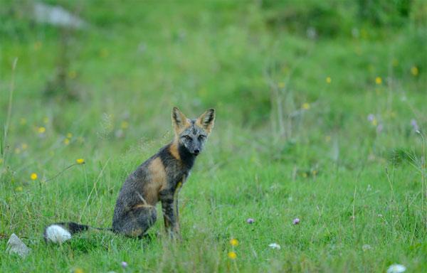 """Cáo chữ thập là một """"phiên bản màu"""" khác của loài cáo đỏ, sống nhiều nhất ở Bắc Mỹ"""