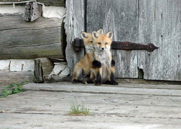 Chúng là những thợ săn rất nhanh nhẹn và có thể nhảy qua rào cao 2m.