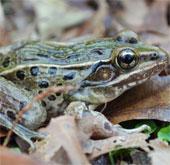 Phát hiện loài ếch phát ra tiếng kêu quái dị