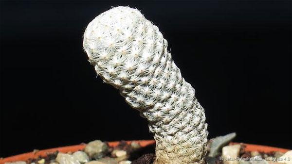 Xương rồng Mammillaria herrerae