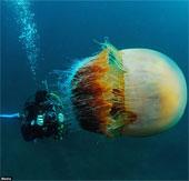"""Thợ lặn """"sốc nặng"""" với sứa khổng lồ dưới đáy biển"""
