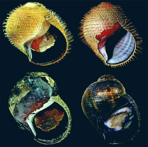 Phát hiện 5 loài ốc biển mới