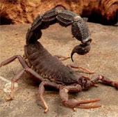 Loài bọ cạp khiến đối thủ sùi bọt và khóc tới khi chết