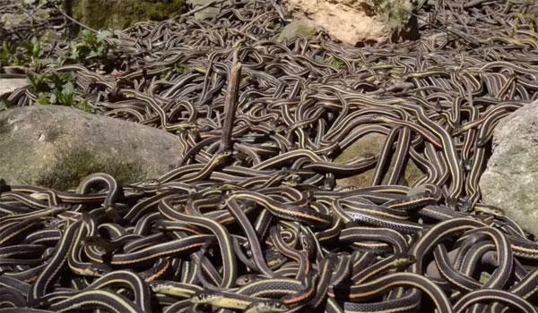 Khám phá ổ rắn lớn nhất thế giới