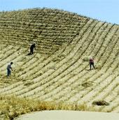 Trường Thành xanh sẽ cứu Trung Quốc khỏi bão cát?