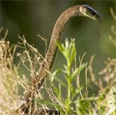 Cận cảnh loài rắn độc dài nhất châu Phi