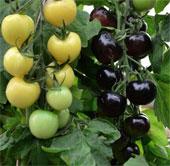 Cây cà chua cho quả hai màu