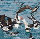 Các loài chim có thể bay liên tục được bao xa?