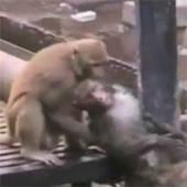 Video: Khỉ cứu bạn thoát chết trên đường ray