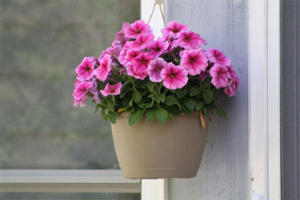 Kỹ thuật trồng hoa dạ tiệc thảo bằng cành bạn nên biết