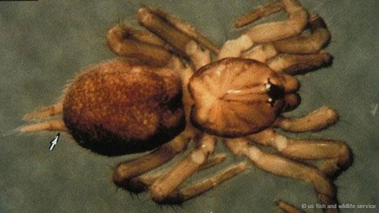 Ở phía Nam Siberia, cây thông và nhện tarantula là hai thứ luôn xuất hiện cùng nhau như hình với bóng.