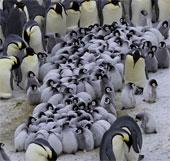 Chim cánh cụt chụm lại ủ ấm đàn con