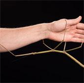 Loài côn trùng dài thứ 2 trên thế giới được tìm thấy ở Việt Nam