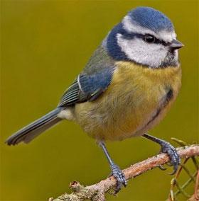 """Phát hiện mới: Loài chim cũng biết """"lè nhè"""" khi say"""