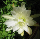 Cách trồng và chăm sóc hoa quỳnh luôn tươi tốt