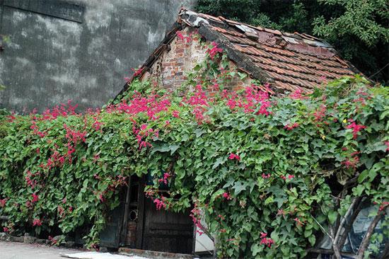 Kỹ thuật trồng hoa tigon