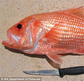 """Bắt được """"cụ"""" cá hồi đỏ 84 tuổi"""