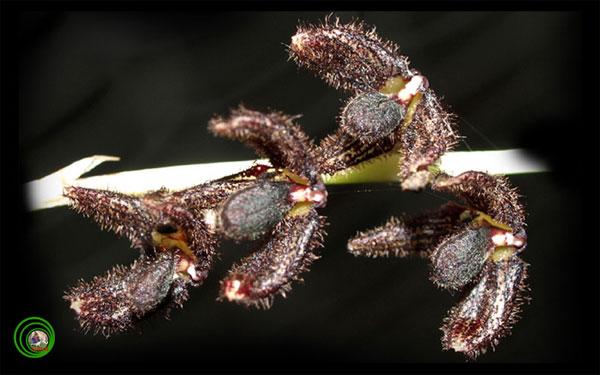 Nữ hoàng hoa lan màu đen của rừng thẳm