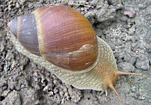 Những đặc điểm kỳ lạ của ốc sên