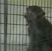 Khỉ có thể tự nhận ra mình trong gương