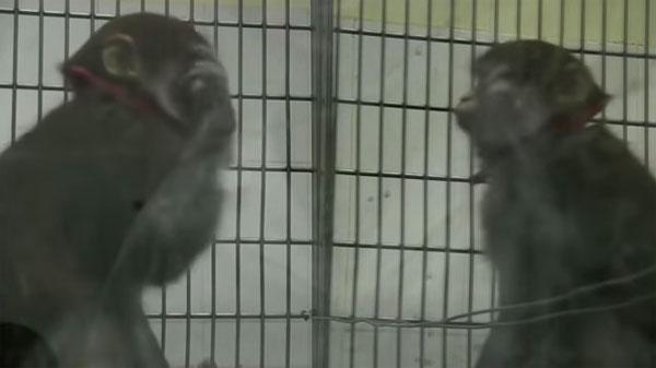Video: Khỉ có thể tự nhận ra mình trong gương
