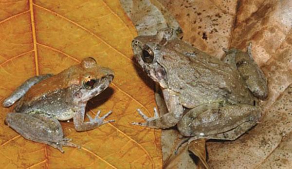 Những loài ếch kỳ lạ trên thế giới