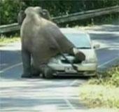 Video: Chú voi bất ngờ chặn ôtô, trèo lên nóc xe ngồi