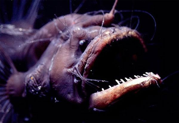 Kiểu sinh sản kỳ quặc của loài cá quỷ Anglerfish