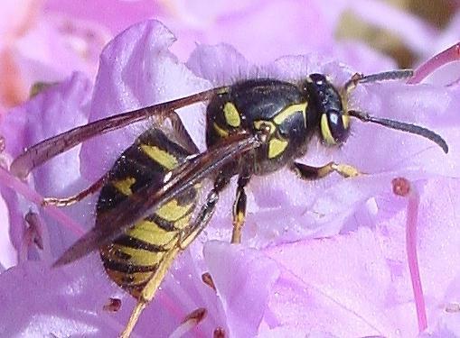 Xử lý khi bị ong đốt