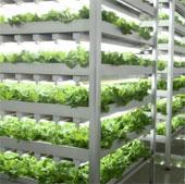 Nhật Bản: Nông trại trong nhà năng suất gấp 100 lần ngoài đồng