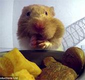 Video: Vì sao chuột hamster có thể nhét nhiều đồ ăn vào miệng?