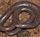 Phát hiện sinh vật giun lai rắn kỳ dị ở Campuchia