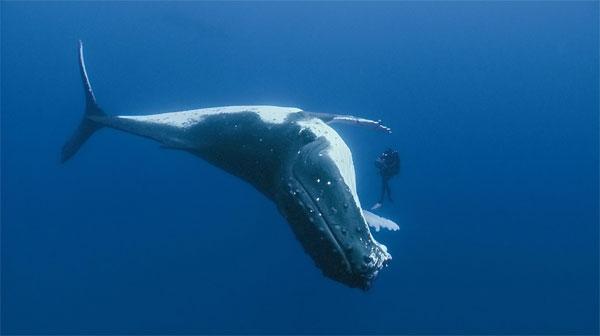 Bí mật trường thọ của cá voi đầu cong