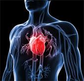 Những điều ít biết về quả tim người