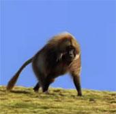 Video: Vua khỉ đầu chó bị hạ bệ vì quá nhiều thê thiếp