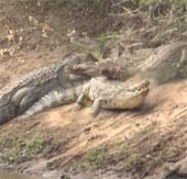 """Video: Cá sấu """"khủng"""" làm thịt hà mã"""