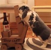 Video: Chú thỏ thông minh biết mang bia cho chủ theo yêu cầu