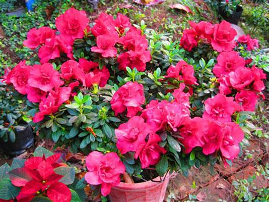 Kỹ thuật trồng cây và chăm sóc đúng đắn sẽ cho ra những chậu hoa đỗ quyên đẹp