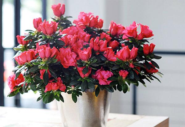 Hoa đỗ quyên - Bộ sưu tập hình ảnh hoa đỗ quyên tuyệt đẹp