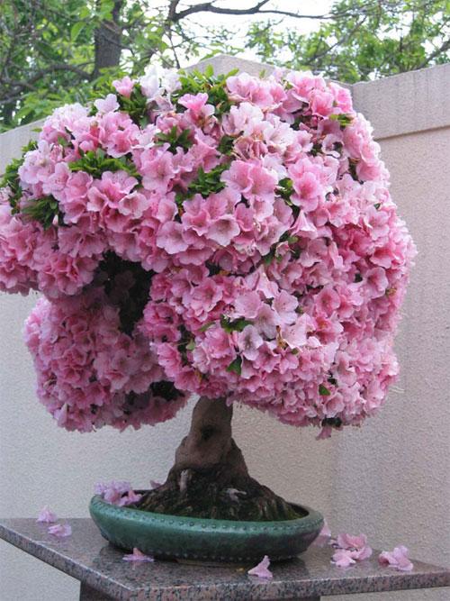 Một chút lưu ý trong kỹ thuật trồng cây hoa đỗ quyên đó là yếu tố đất