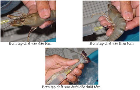 Tạp chất được bơm vào tôm qua đầu, thân và đuôi. (Ảnh minh họa)
