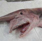 Cá mập yêu tinh sa lưới ngư dân